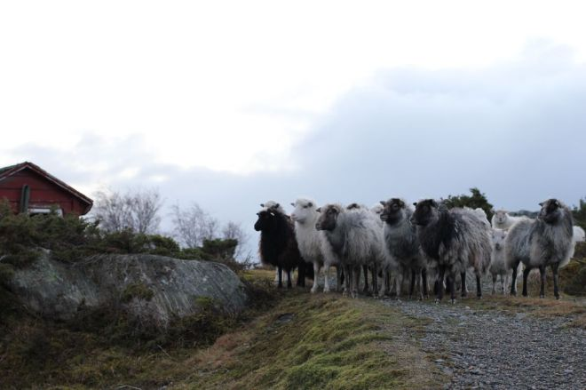 taking the sheep for a walk